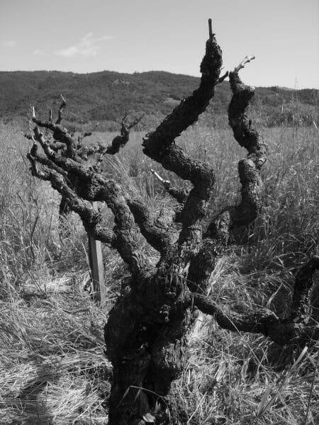 Old Hill Vineyard Ancient Vine