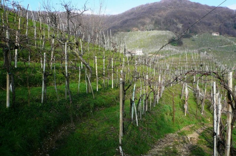 Ninety year old Gerla vines in this steep hillside vineyard of Bortolotti.