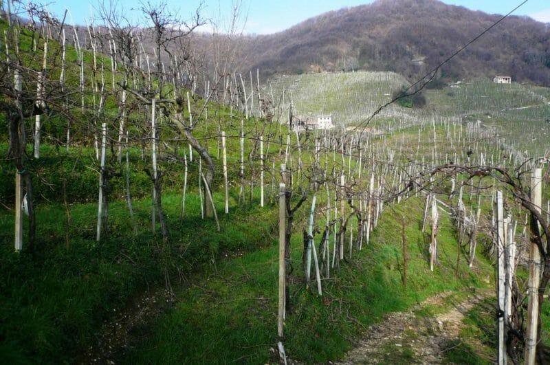 Ninety year old Gerla vines in this steep hillside vineyard of Bortolotti.
