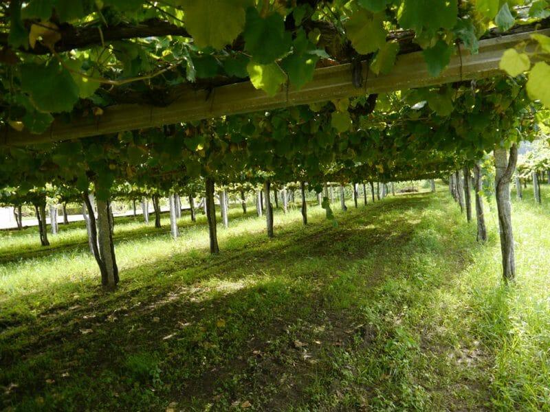Albariño vines <br>Photo by Steven Alexander