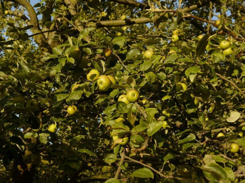 Apple tree <br>Photo by Steven Alexander