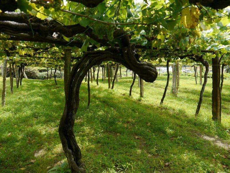 The Cepas Vellas vineyard <br>Photo by Steven Alexander