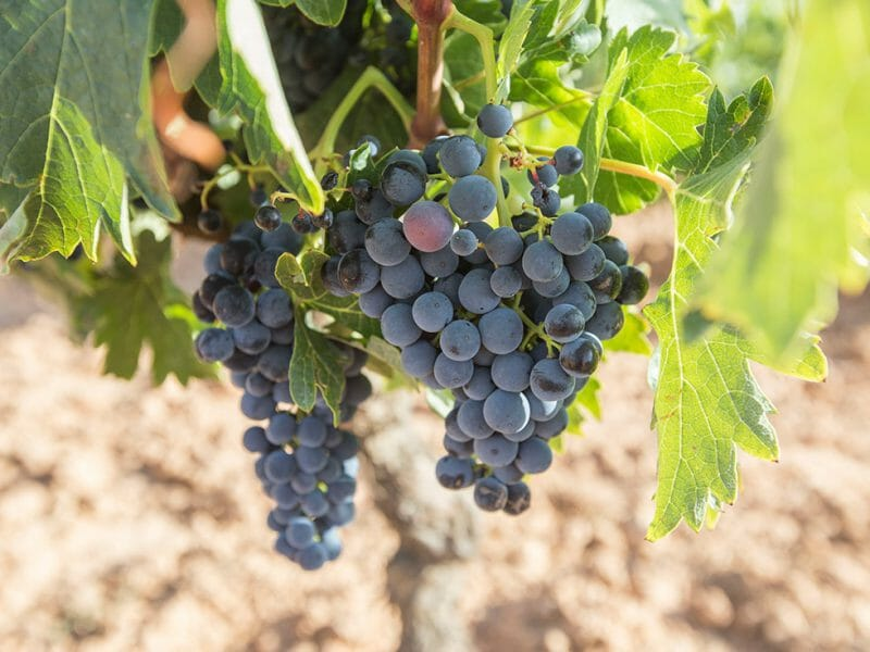 Tempranillo from the Valdelayegua vineyard <br>Photo by Zoe Dehmer