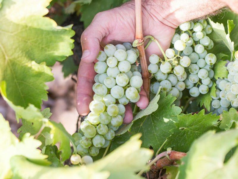Albillo grapes <br>Photo by Zoe Dehmer