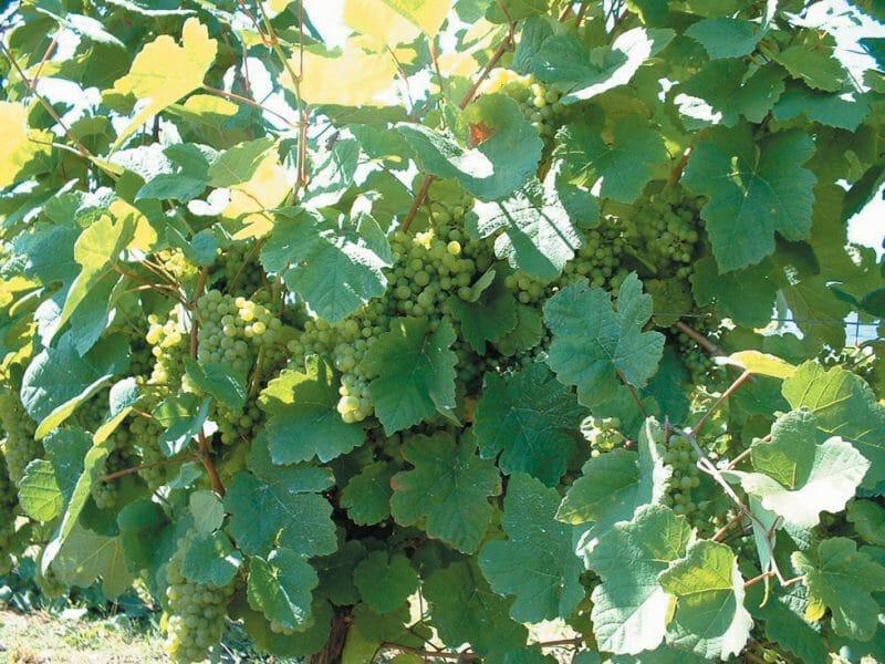 Grapes <br>Photo by Josu Ortuza