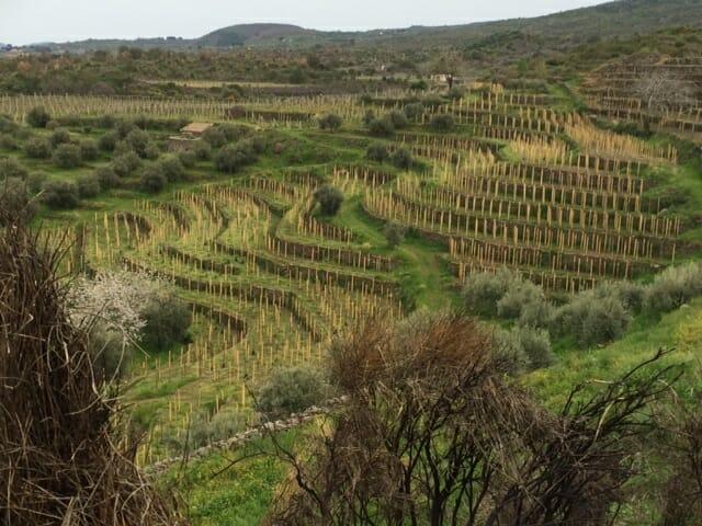 Santo Spirito Vineyard
