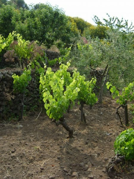 Old vines Nerello Mascalese - inter planted with olive trees