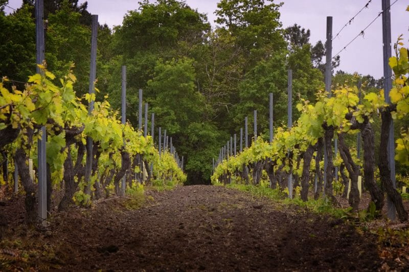 Vines at Viña Mein <br>Photo by Pepe Franco