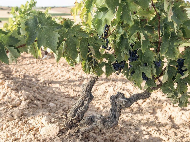 A vine in the Santa Cruz vineyard <br>Photo by Zoe Dehmer