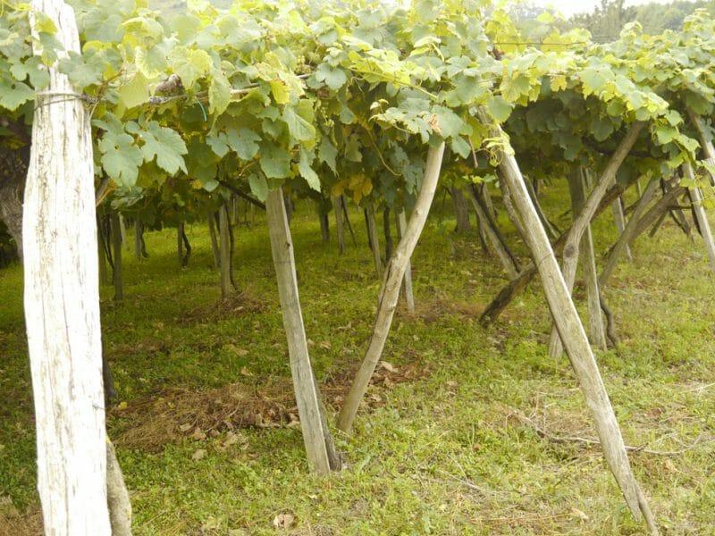 Vines <br>Photo by Steven Alexander