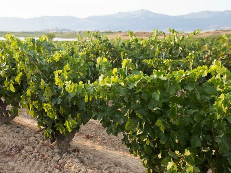 Vines <br>Photo by Zoe Dehmer