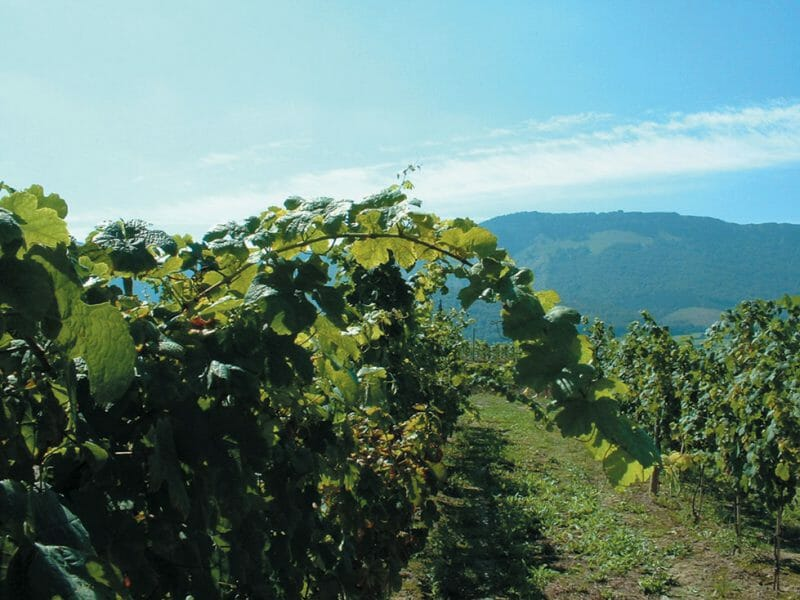 Vines <br>Photo by Josu Ortuza