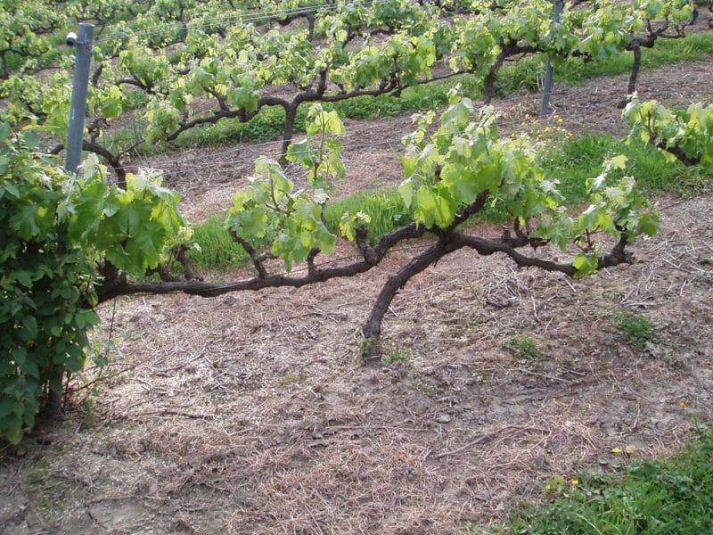 A vine