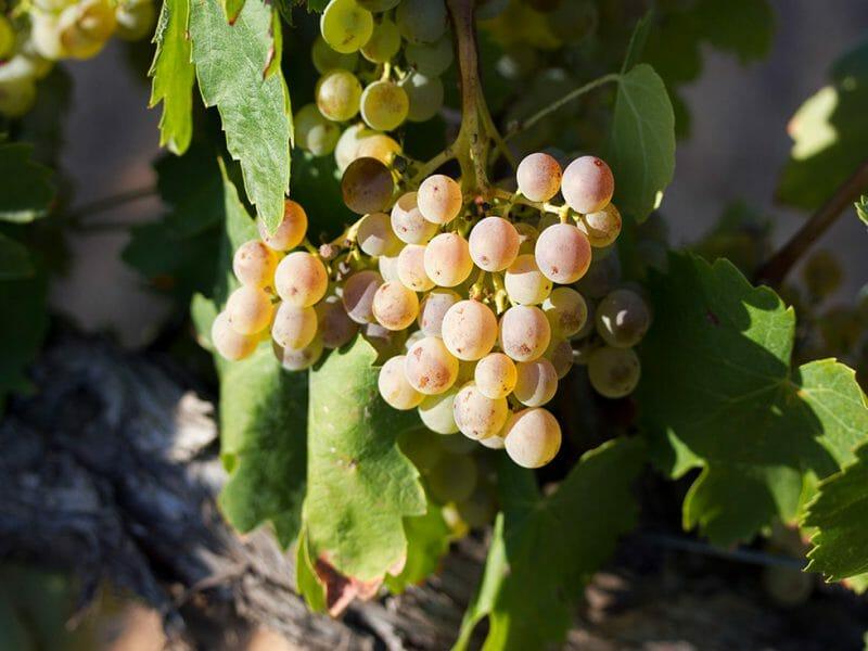 Xarello grapes <br>Photo by Zoe Dehmer