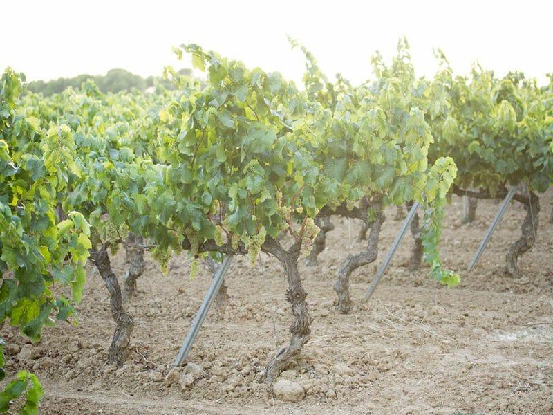 Xarello vines <br>Photo by Zoe Dehmer